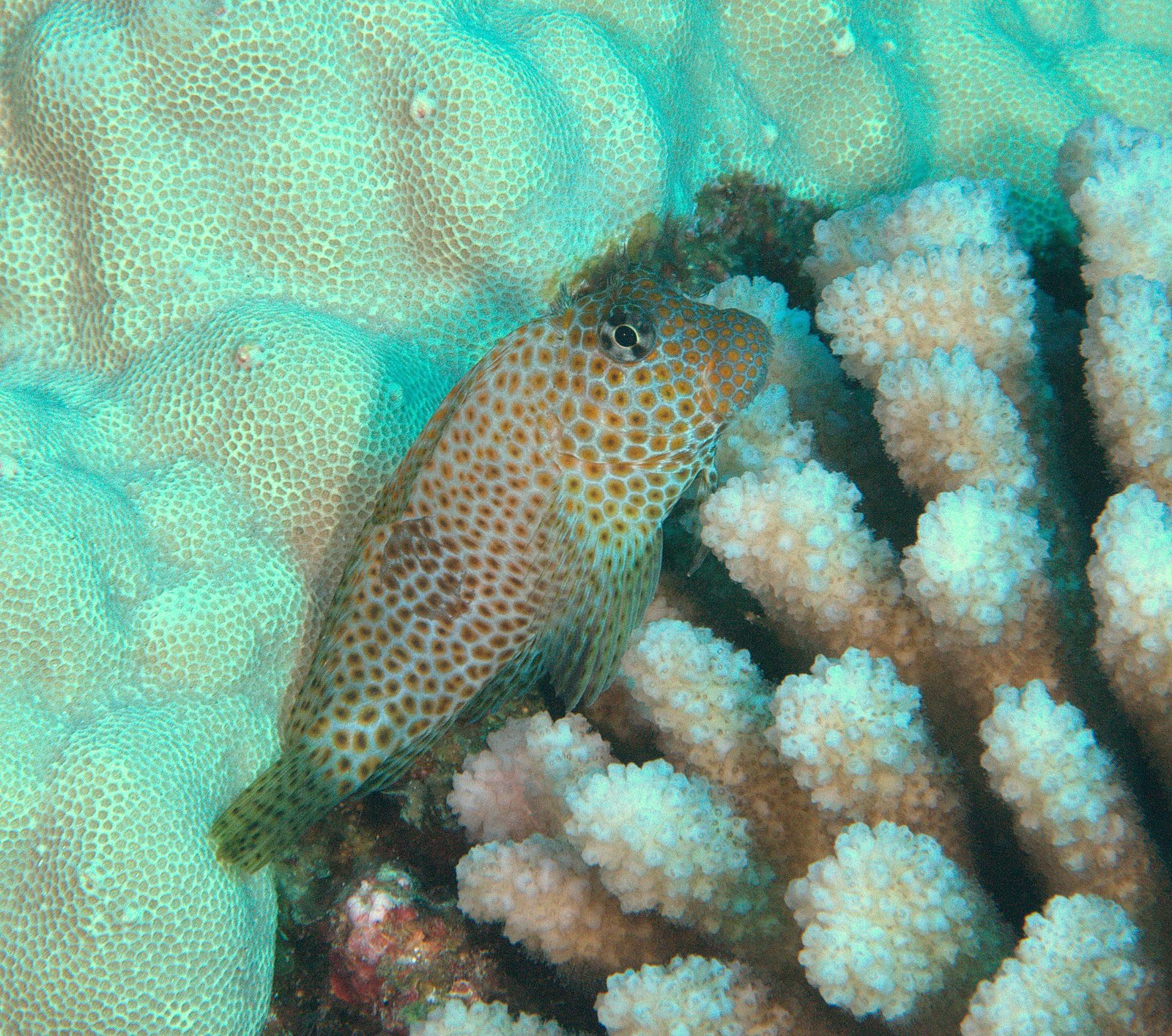 under pressure world: Spotted Coral Blenny- Kona, HI