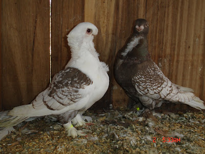 Oriental Frill Pigeons for Sale http://fancypigeoncollection.blogspot.com/2009/06/blog-post.html