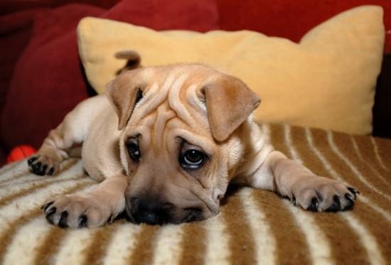 Sad Puppies HD wallpaper
