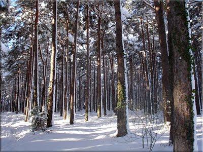 Se cruza un pinar