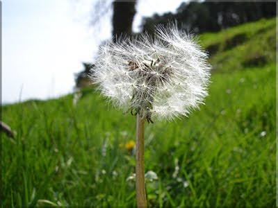 El canoso 'abuelito' florece en el prado