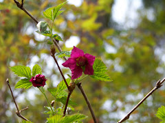 Salmon Berry Bloom