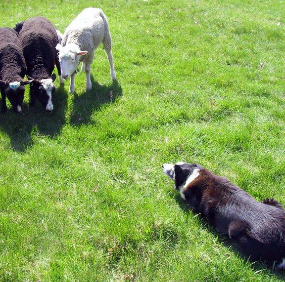 [herding]