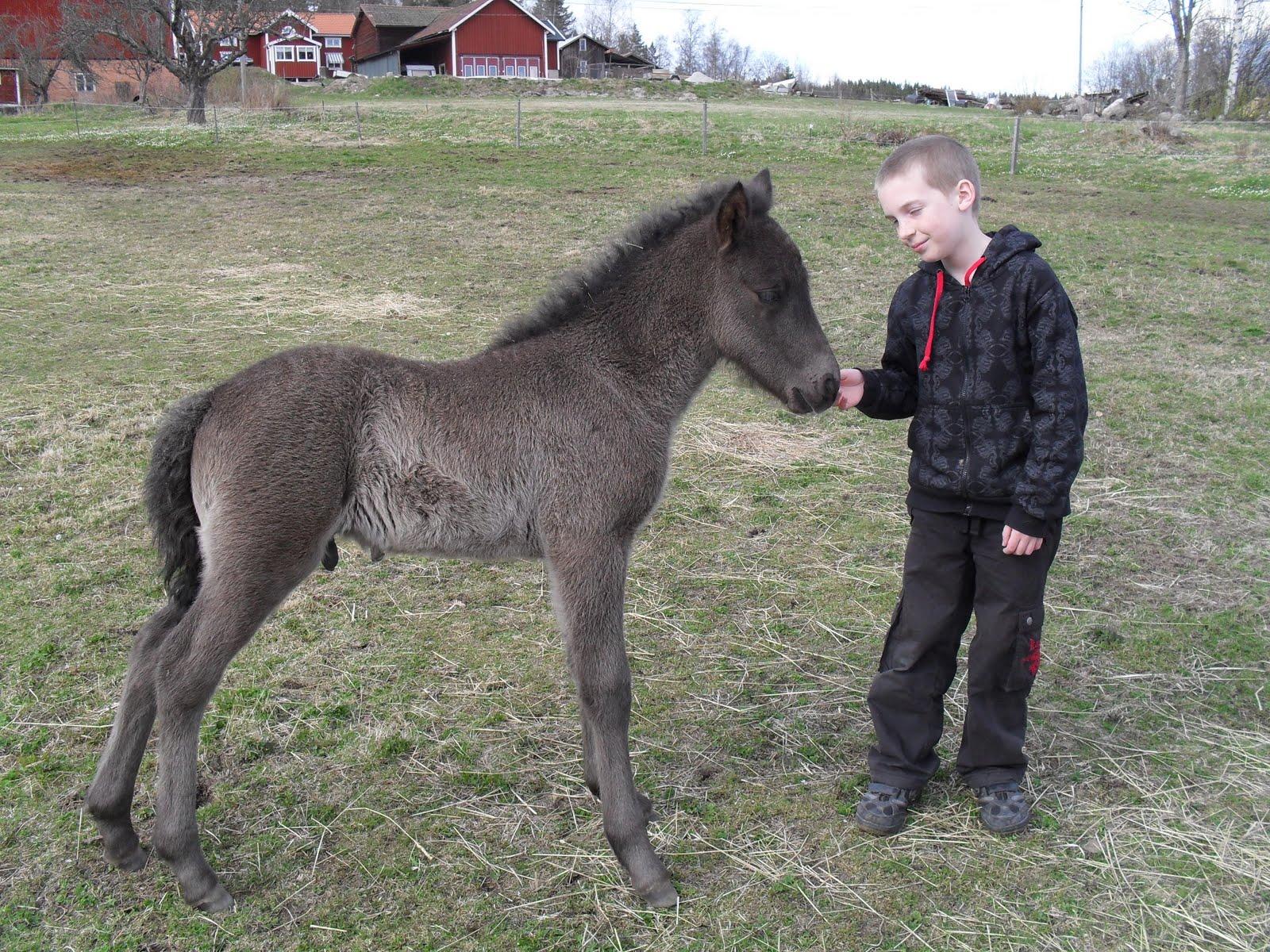 Rosmaries Islandshästar Hästar till salu