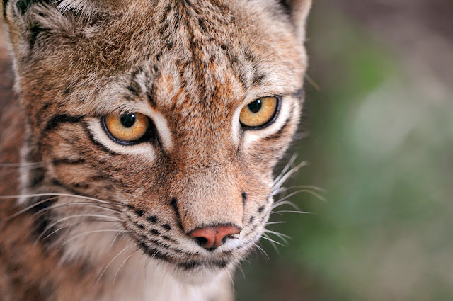 Close lynx by Tambako the Jaguar from flickr (CC-ND)