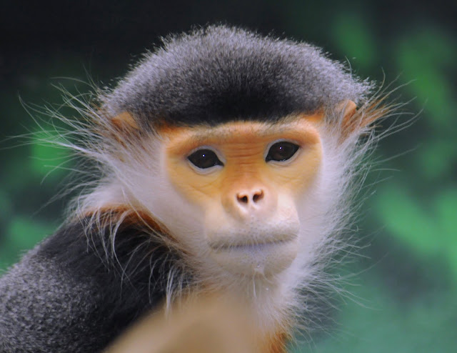 Douc Langur (Pygathrix nemaeus) by ucumari from flickr (CC-NC-ND)