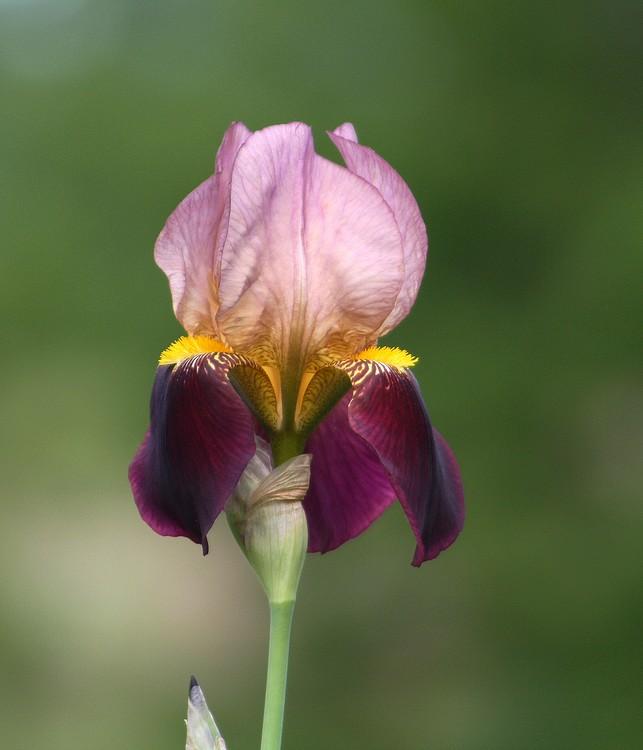 [iris+rose+(2).jpg]