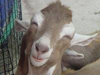 Senyum Kambing