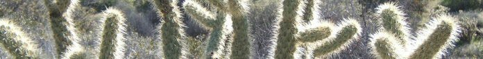 Silver Cholla Cactus in Anza Borrego Desert (click to navigate to Gambits from Gail Home)