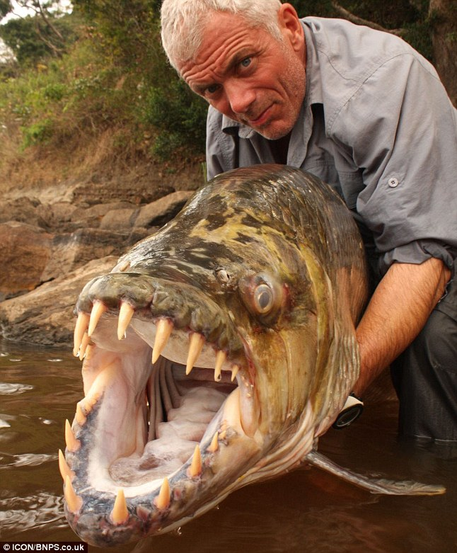 Piranha are commonly known as a giant tiger fish goliath is one of the