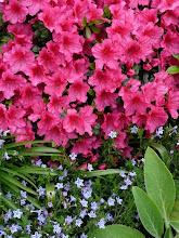 Pink azalia