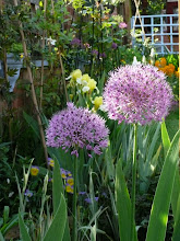 Aliums in the back garden