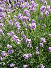 Lavender, July 2009