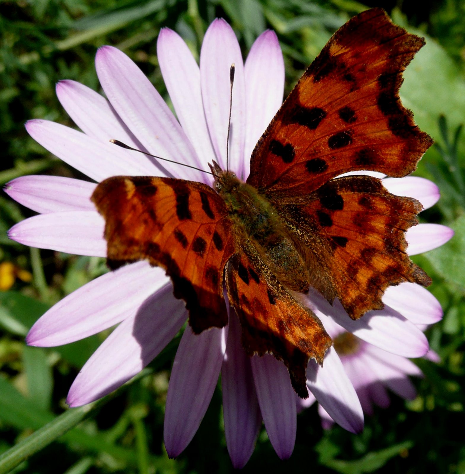 Comma butterfy on osteospernum