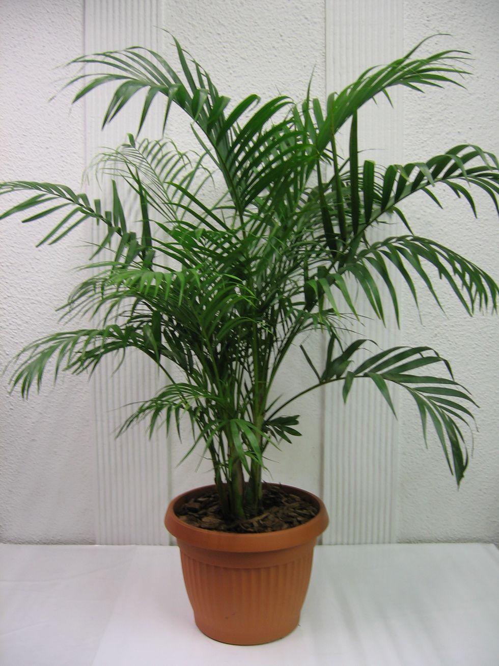 Del rbol plantas que purifican el aire - Plantas de interior que purifican el aire ...