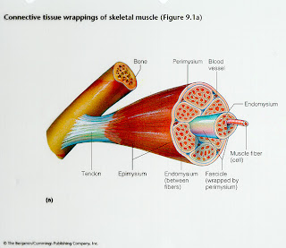 the important role of skeletal muscles in Both central and local factors play an important role in the regulation of skeletal muscle blood flow during exercise the skeletal muscle pump is thought to be crucial in coordinating the local and systemic blood flow responses during exercise (rowell, 1993) during the concentric phase of muscle.