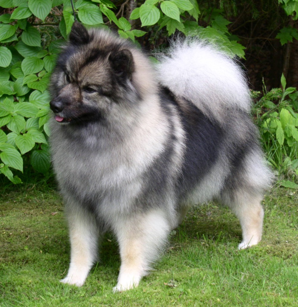 What Does A Keeshond Dog Look Like