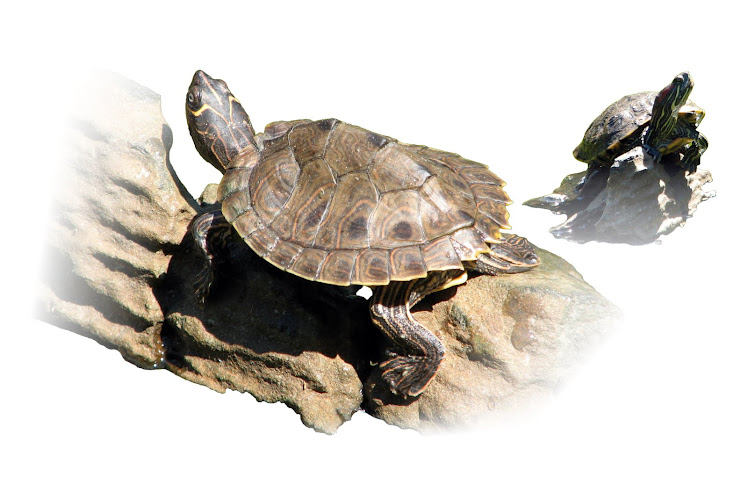 KEEP A PET TURTLE: Types of Turtles