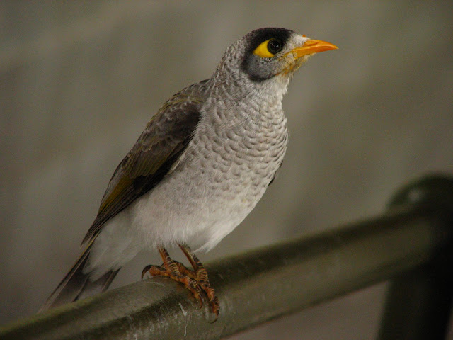 Mynas v miners: they might be swooping menaces but they're ...
