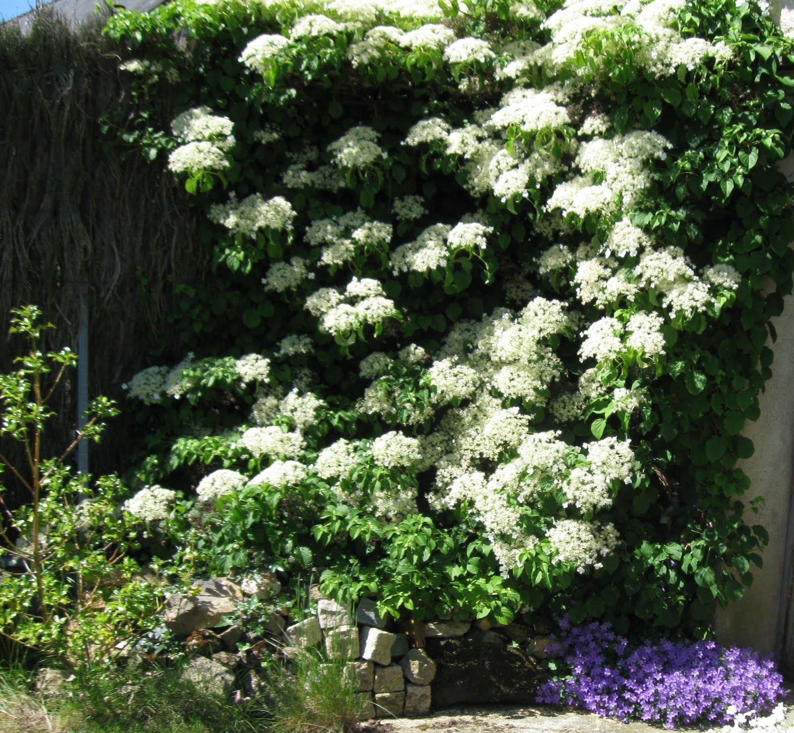Le jardin de viviane l 39 hortensia grimpant hydrangea p tiolaris - Piante bellissime da giardino ...