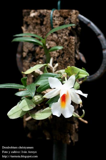http://3.bp.blogspot.com/_IqLcBPvfD2I/TAolcWzFUII/AAAAAAAAGVY/JdgiQacmhaY/s1600/Dendrobium+christyanum+(Dendrobium+margatitaceum)+(7).jpg