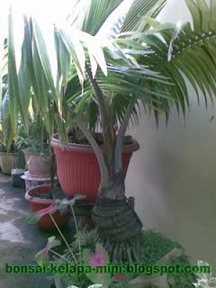 Bonsai Kelapa Mini