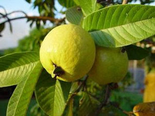 Guava Jambu Biji Usefulness Guava