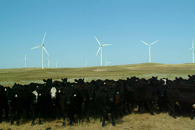[Cattle at the Ainsworth wind farm]