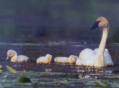 [Trumpeter Swan image from FWS survey report]