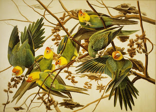 [Carolina Parakeets by Audubon]