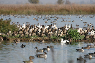 [Waterfowl at a California wetland]