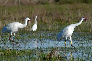 [Whooping Cranes at Kanapaha Prairie]