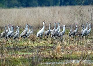 [Cranes at Kanapaha Prairie]