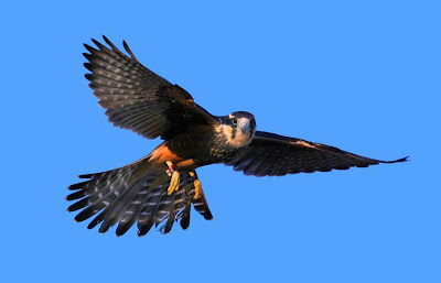 [Aplomado Falcon at Armendaris Ranch]