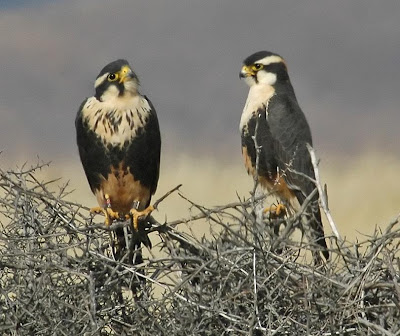 [Aplomado Falcon fledglings at Armendaris Ranch]