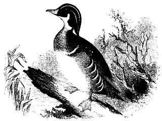 [Wood Duck]