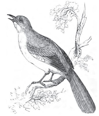 [Sketch of Mockingbird, 1835]