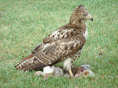 [Red-tailed Hawk feeding on a rabbit carcass]