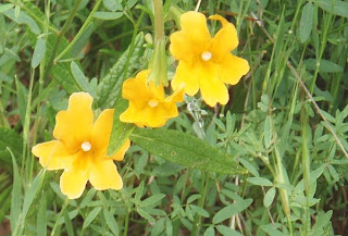 Bush Monkeyflower, Stebbins Cold Canyon Reserve, Solano County, California