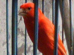 ... piaraan memiliki perasaan kalau burung kenari di pe