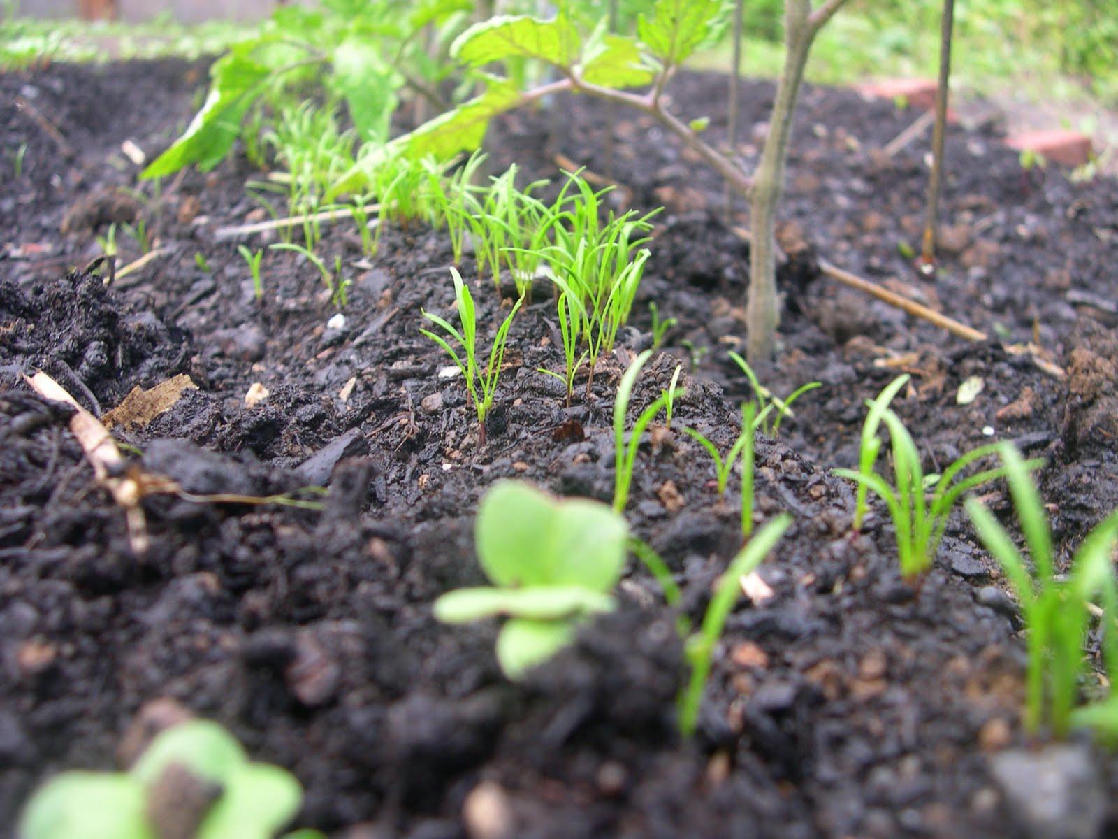 Морковь: выращивание, посадка и уход. Сорта моркови 63