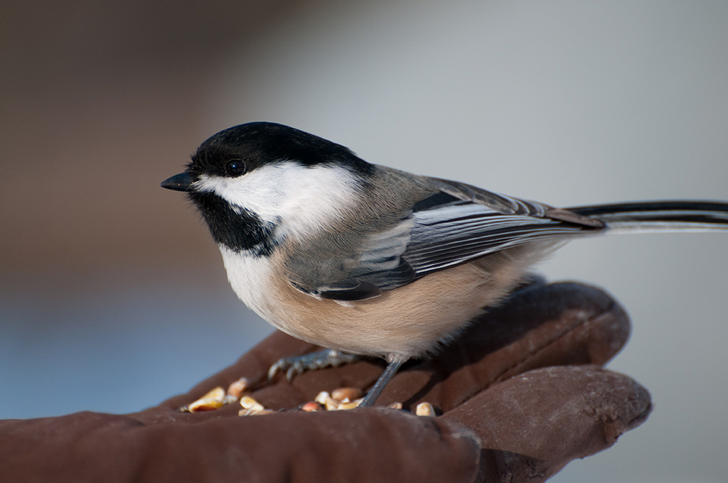 [Chickadee+eating+out+of+Kate's+Hand.jpg]