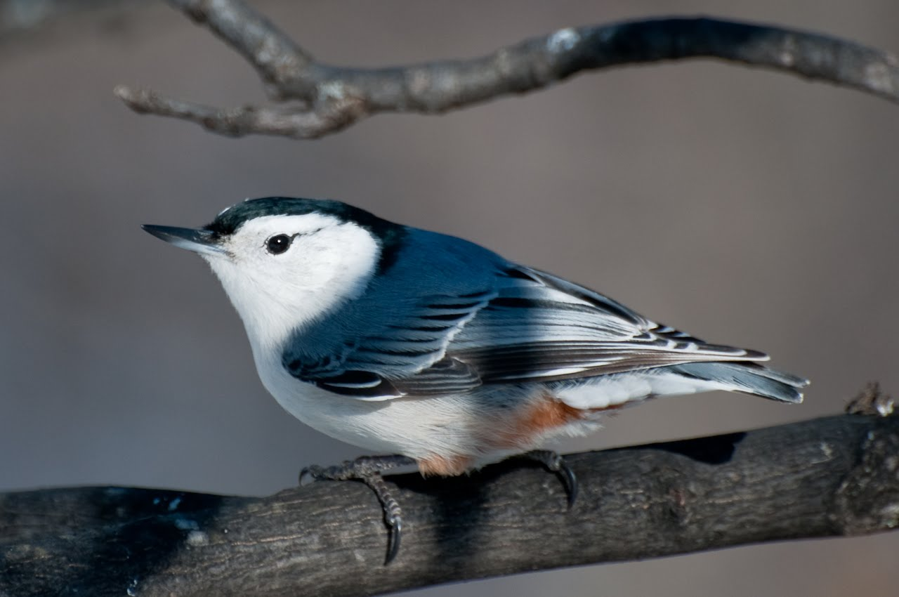 [4-White+Breasted+Nuthatch.jpg]