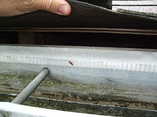 animals in attic Drip edge Gap between roof deck and fascia