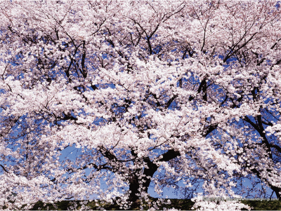 Sakura Flower What else can I say Awesome Posted by Reeve at 345 PM