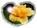 Hibisco, obsequio de Fiaris Alfabeta