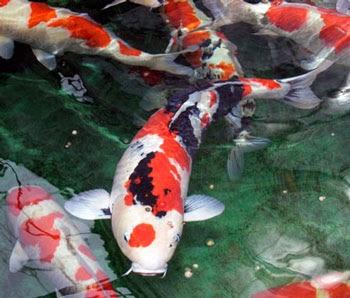 smart_ebook: Budidaya Ikan Koi