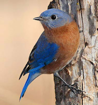 picture of new york state bird. new york state bird bluebird.