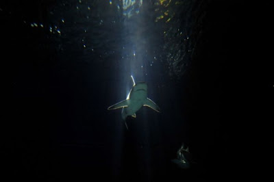 Shark Seen On www.coolpicturegallery.us
