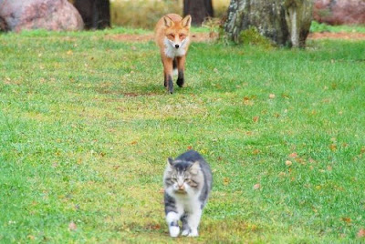 Cat vs Fox  Seen On www.coolpicturegallery.us